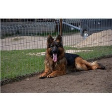 View full profile for Lc German Shepherds