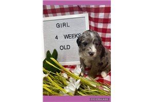 Aussiedoodles for sale