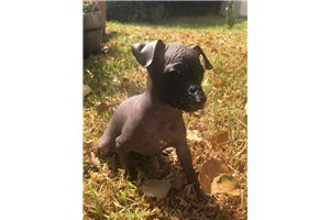 Sleek  | Puppy at 8 weeks of age for sale