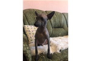 Xoloitzcuintlis for sale