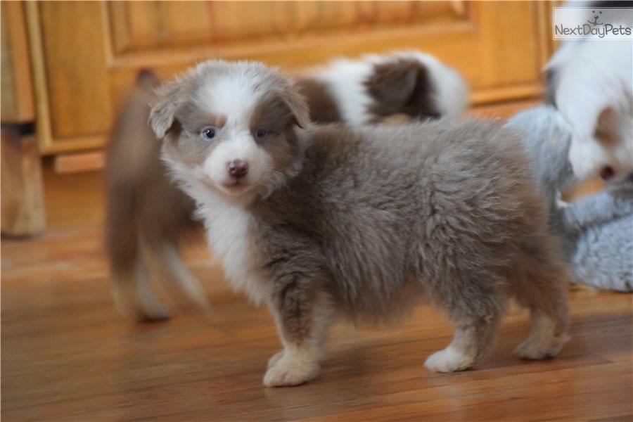 Miniature Australian Shepherd puppy for sale near South Australia