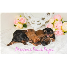 View full profile for Precious Paws Pups