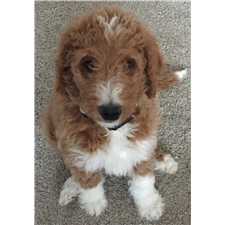View full profile for Puppy Love Doodles Of Colorado