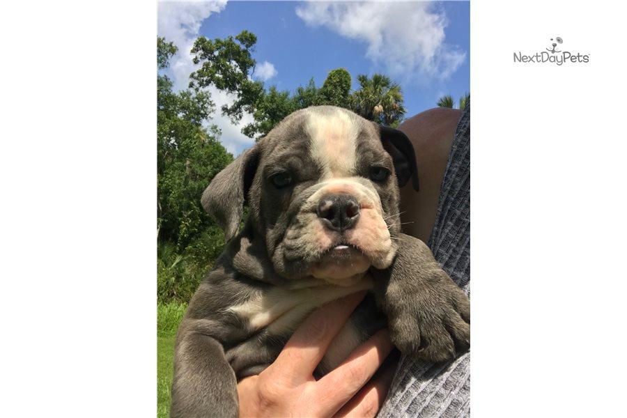 Spike : English Bulldog puppy for sale near Orlando ...