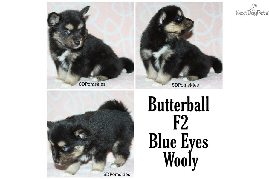 Pomsky puppy for sale near Northeast SD, South Dakota ...