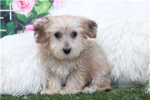 Picture of a Yorkiechon Puppy
