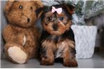 Picture of Ivy - Beautiful Yorkie