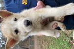 Male wolf puppy  | Puppy at 6 weeks of age for sale