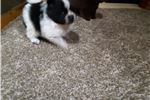 Picture of Snoopy. - ACA Certifed Pure Breed