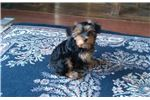 Picture of CKC Male puppy
