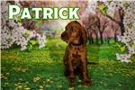 Irish Setter for sale