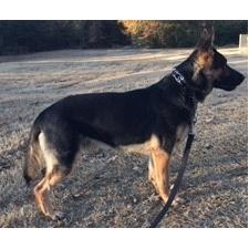 View full profile for Sohn Von Ander  Working Line German Shepherds