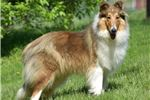 Picture of LENOX BLUE MERLE