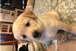 Picture of FEMALE Golden Goldador puppy