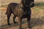 Picture of Red Brindle Bullmastiff Puppies
