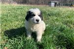 Picture of a Great Pyrenees Puppy