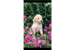 Myron | Puppy at 6 weeks of age for sale