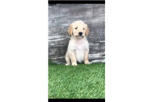 Mary | Puppy at 6 weeks of age for sale