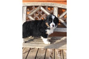 Shawn - Miniature Australian Shepherd for sale