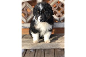 Sabin - Miniature Australian Shepherd for sale