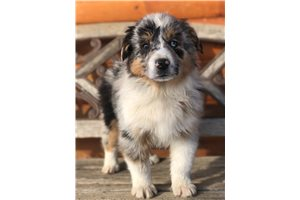 Sammy - Miniature Australian Shepherd for sale