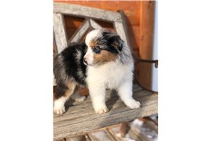 Stan - Miniature Australian Shepherd for sale