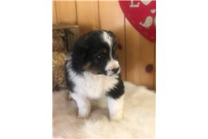 Saber - Miniature Australian Shepherd for sale