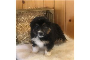 Seth - Miniature Australian Shepherd for sale