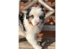 Sarah - Miniature Australian Shepherd for sale