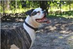Picture of Mojo - NKC Registered American Bulldog Puppy
