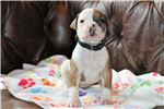 Picture of Moo - NKC Registered American Bulldog Puppy