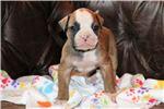 Picture of Falco - NKC Registered American Bulldog Puppy