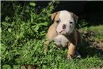 Picture of Coltie - NKC Registered American Bulldog Puppy