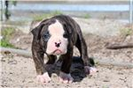 Picture of Blaze - NKC Registered American Bulldog Puppy