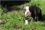 Picture of Amber - NKC Registered American Bulldog Puppy