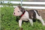 Picture of Addie - NKC Registered American Bulldog Puppy