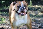 Picture of Grizz - NKC Registered American Bulldog Puppy