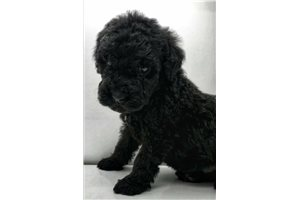 Jude | Puppy at 7 weeks of age for sale