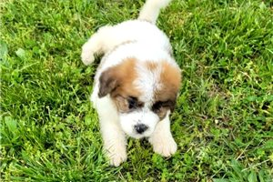 Daydream | Puppy at 7 weeks of age for sale