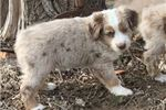 Picture of Molly - Female Red Merle