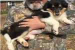 Picture of AKC Rough Collie female puppy for sale