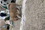 Picture of Pomeranian Husky