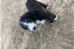Picture of Beautiful Sheepadoodle Female puppy