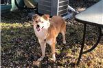 Australian Terriers for sale