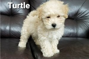 Turtle | Puppy at 7 weeks of age for sale