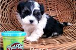 Picture of Reese Shichon teddy bear puppy for sale Florida