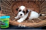 Picture of Poe Shichon teddy bear puppy for sale Florida