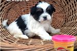 Picture of Cassie Shichon teddy bear puppy for sale Florida