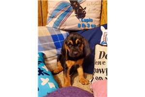 Bloodhounds for sale