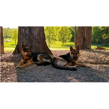 View full profile for Serenity Hill German Shepherds